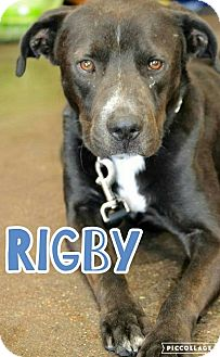Pit Bull Terrier/Labrador Retriever Mix Dog for adoption in Scottsdale, Arizona - Rigby