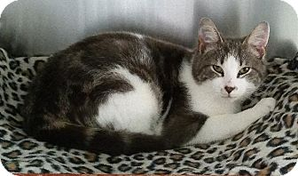 Domestic Shorthair Cat for adoption in Freeport, New York - Mino
