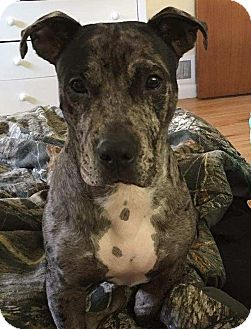 Catahoula Leopard Dog Mix Dog for adoption in Kirkland, Washington - Yoda