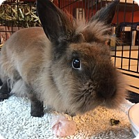 Lionhead Mix for adoption in Westminster, California - Randi