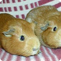 Adopt A Pet :: Sandy - Steger, IL