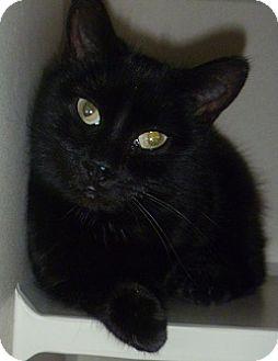 Domestic Shorthair Cat for adoption in Hamburg, New York - Denise