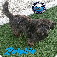 Maltese/Poodle (Miniature) Mix Dog for adoption in Arcadia, Florida - Hold - Ralphie