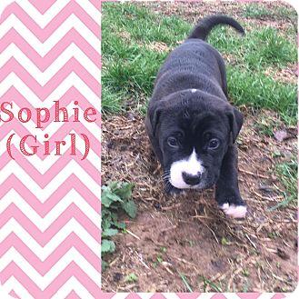 English Bulldog Mix Puppy for adoption in Brattleboro, Vermont - Sophie