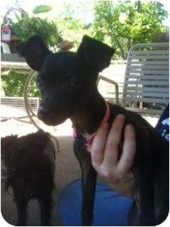Chihuahua/Italian Greyhound Mix Puppy for adoption in Arlington, Texas - Sarah