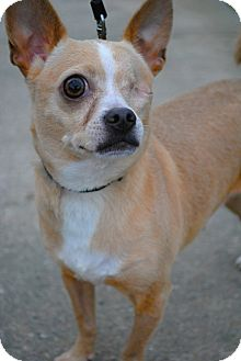 Chihuahua Mix Dog for adoption in Orlando, Florida - Speck