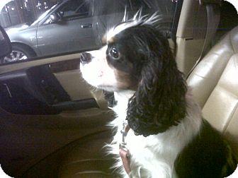 Cavalier King Charles Spaniel Dog for adoption in Tacoma, Washington - CHARLIE - 4