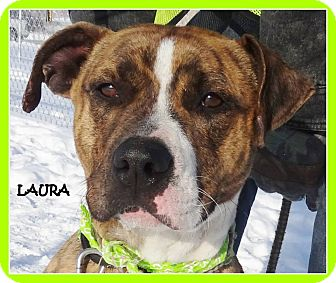 Pit Bull Terrier Mix Dog for adoption in Lapeer, Michigan - LAURA-SWEET OUTGOING GIRL!