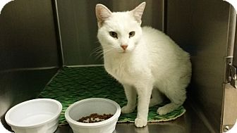 Domestic Shorthair Cat for adoption in Cody, Wyoming - Snow