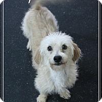 Adopt A Pet :: Cooper - Rockwall, TX