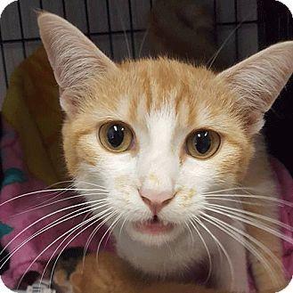 Domestic Shorthair Cat for adoption in Savannah, Georgia - Belk