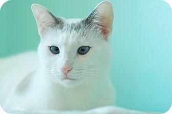 Domestic Shorthair Cat for adoption in Coronado, California - Sprinkles