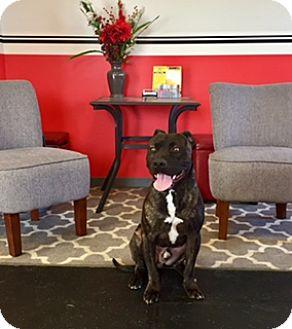 Cane Corso Mix Dog for adoption in New Albany, Ohio - Malcom