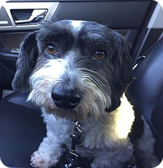 Havanese/Poodle (Miniature) Mix Dog for adoption in Mission Viejo, California - TOBY