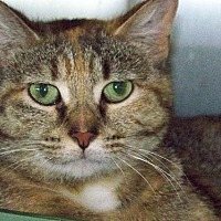 Domestic Shorthair Cat for adoption in Westville, Indiana - Lilac