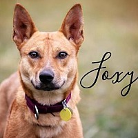 Adopt A Pet :: Foxy - Joliet, IL