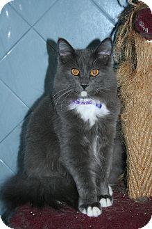 Domestic Longhair Kitten for adoption in Santa Rosa, California - Heath
