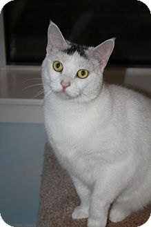 Domestic Shorthair Cat for adoption in North Branford, Connecticut - Alice