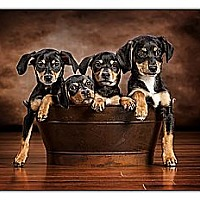 Adopt A Pet :: Puppies!! - Owensboro, KY