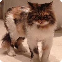 Adopt A Pet :: Bitsy - Beverly Hills, CA