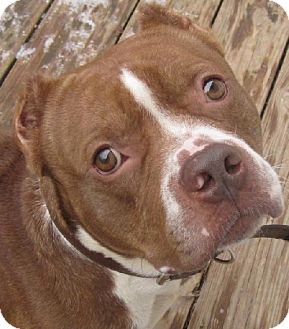 American Staffordshire Terrier/American Pit Bull Terrier Mix Dog for adoption in Kansas City, Missouri - Murphy