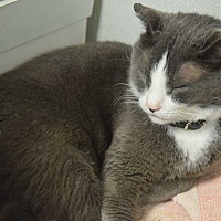 Domestic Shorthair Cat for adoption in Pottsville, Pennsylvania - Cody
