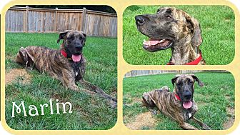 Great Dane Dog for adoption in DOVER, Ohio - Marlin