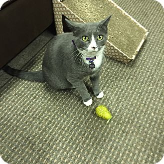 Domestic Shorthair Cat for adoption in Pasadena, California - Gracie