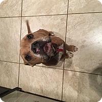Adopt A Pet :: Pumpkin - Mesquite, TX