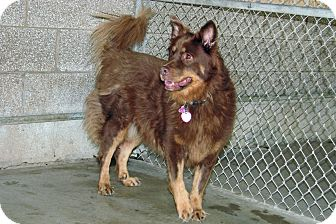 Australian Shepherd Mix Dog for adoption in Ruidoso, New Mexico - Aida