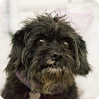 Adopt A Pet :: Annabella - MEET ME - Norwalk, CT