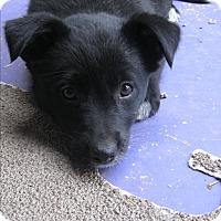 Adopt A Pet :: Bambi - Tucson, AZ