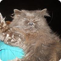 Adopt A Pet :: Mr. Smoke - Palo Cedro, CA