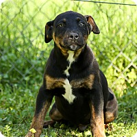Adopt A Pet :: Fudge - Auburn, CA