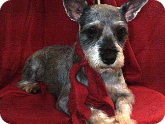 Schnauzer (Miniature) Dog for adoption in Hazard, Kentucky - Parker