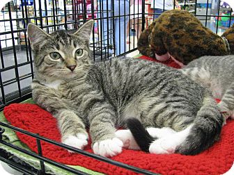 Domestic Shorthair Kitten for adoption in Vero Beach, Florida - Freddy