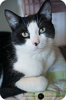 Domestic Shorthair Cat for adoption in Jackson, Michigan - Simon