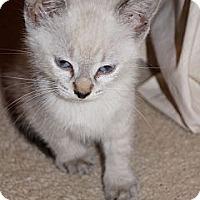 Adopt A Pet :: Venus - Lighthouse Point, FL