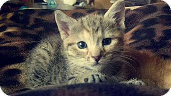 Domestic Shorthair Kitten for adoption in Hainesville, Illinois - Muffin