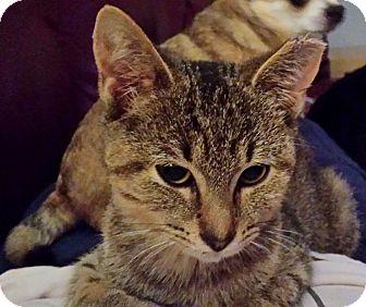 Domestic Shorthair Kitten for adoption in Kalamazoo, Michigan - Fancy - Chelsea