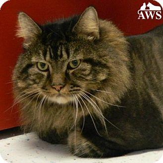 Domestic Mediumhair Cat for adoption in West Kennebunk, Maine - Mr. Jinx