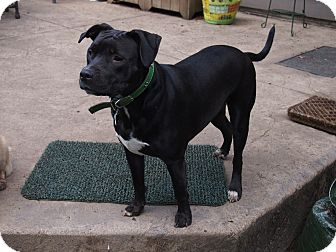 Labrador Retriever/Pit Bull Terrier Mix Dog for adoption in Vancouver, Washington - Connie