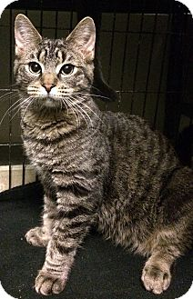 Domestic Shorthair Cat for adoption in East Brunswick, New Jersey - Berton