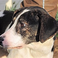 Adopt A Pet :: Domino - Germantown, MD