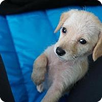 Adopt A Pet :: Emeril - Houston, TX