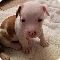 Adopt A Pet :: Beagables! - Jacksonville, FL