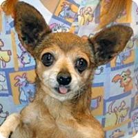 Chihuahua Mix Dog for adoption in Wildomar, California - Agnus