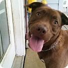 Adopt A Pet :: Teddy Bear  #3 (Priscilla's pup)