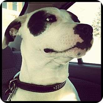 American Pit Bull Terrier Mix Puppy for adoption in Montreal, Quebec - *URGENT Kiko