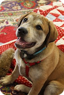 Labrador Retriever Mix Puppy for adoption in Homewood, Alabama - Ginger